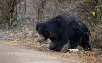 The month of the Sloth Bear