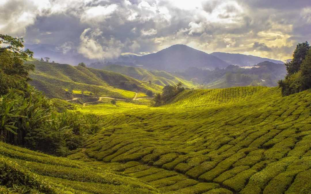 Visit the Tea plantation in Sri Lanka