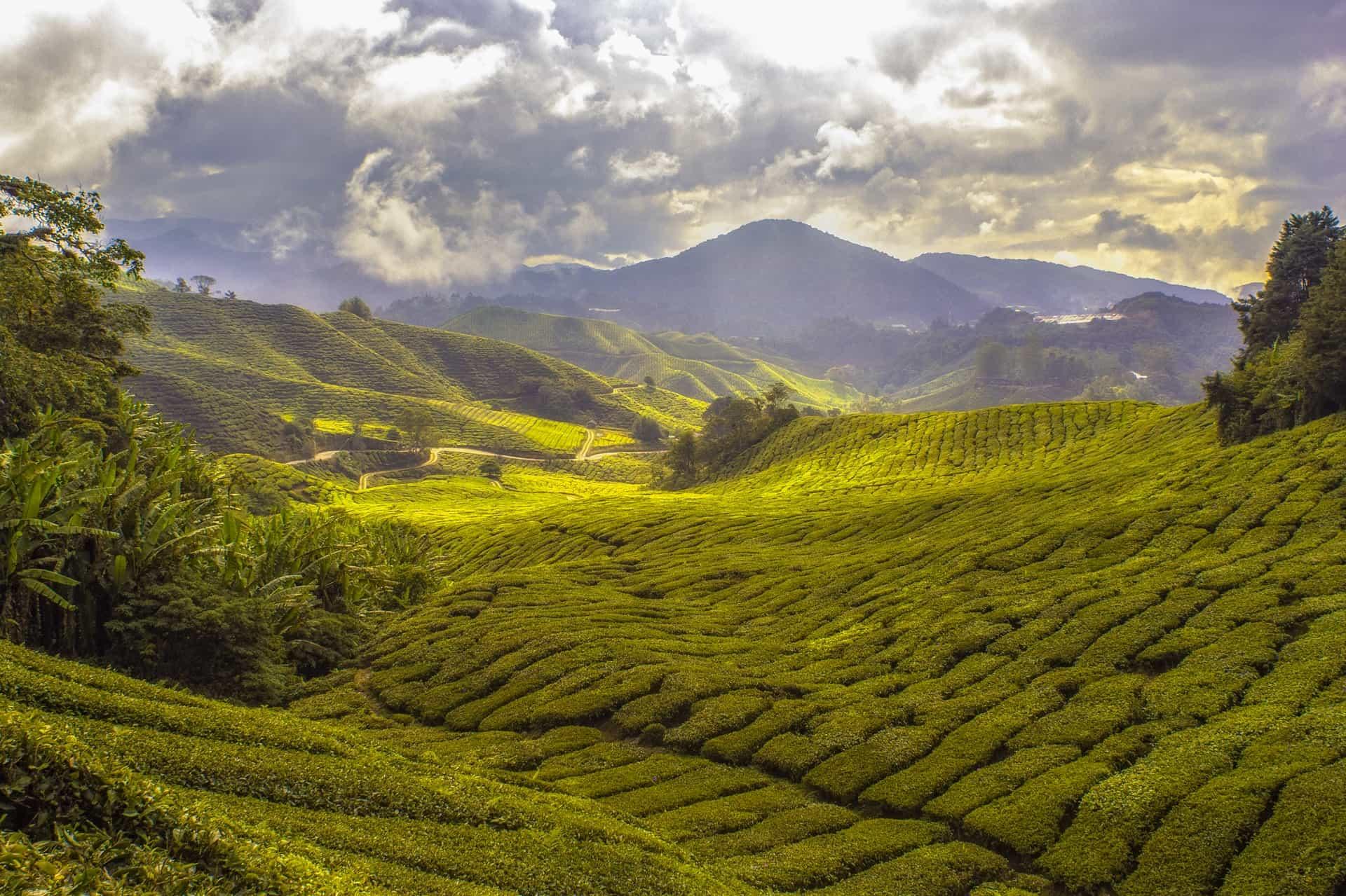 Visit the Tea plantation in Sri Lanka